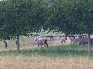 Sheep now live in the orchard and mow the grass for us.