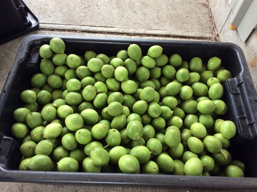 Harvested green walnuts in a black tub